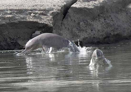 Indus Blind Dolphin
