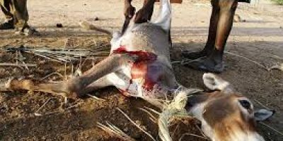 dead donkey meat